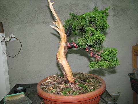ginepro_bonsai_001