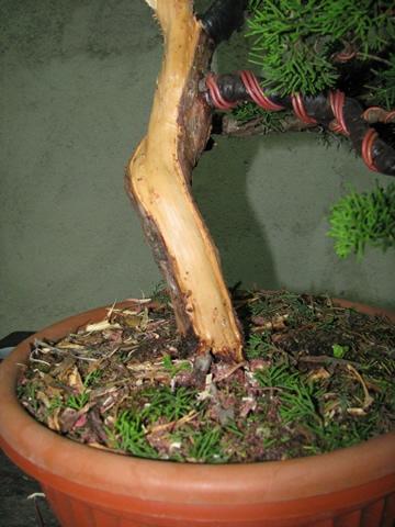 ginepro_bonsai_002