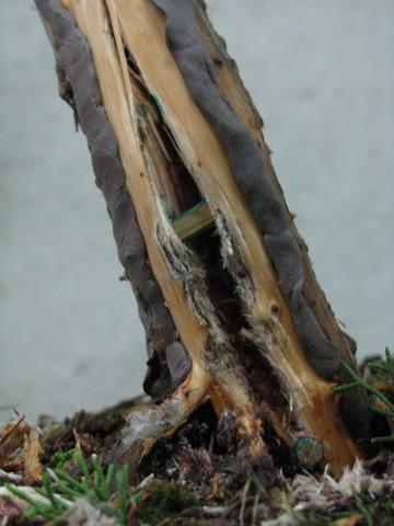 ginepro_bonsai_008