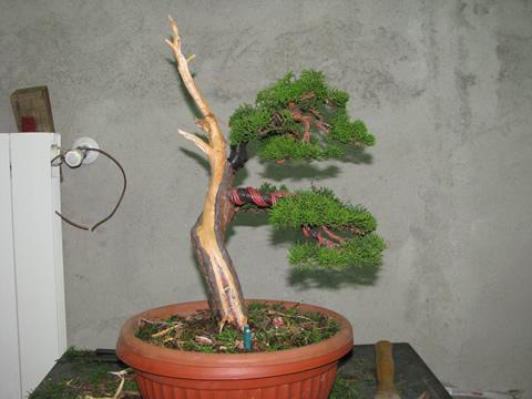 ginepro_bonsai_010