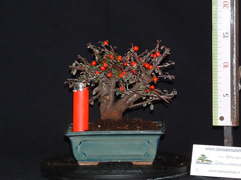 cotoneaster001